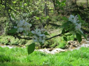 creekappleblossoms