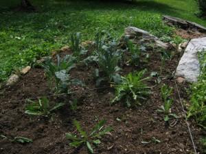 cultivate dandelions